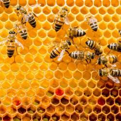 propolis dans un cadre de ruche